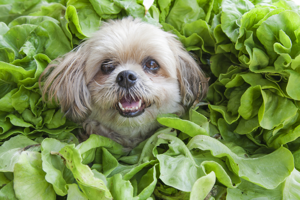 Can Dogs Eat Spinach?