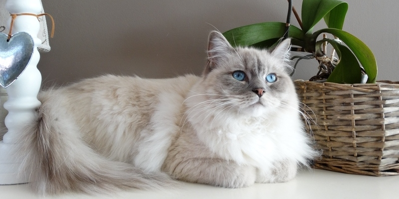 Grooming Tips for Your Long Haired Cat